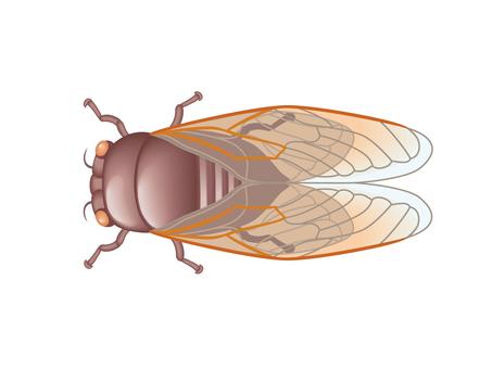 Semi (cicada)