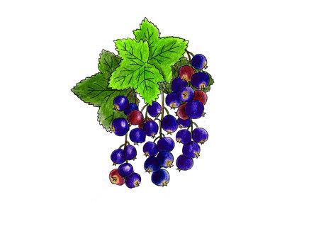카시스 열매