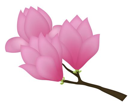 Magnolia _ branches