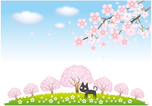 Horizontal type of cat and cherry blossom scenery