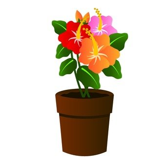 Hibiscus potted plant
