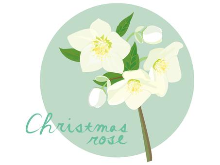 白のクリスマスローズ