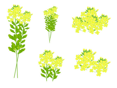 Variety of rape blossoms