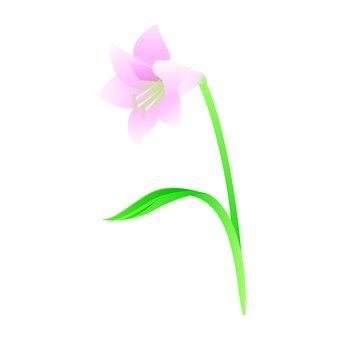 Lily of thin pink