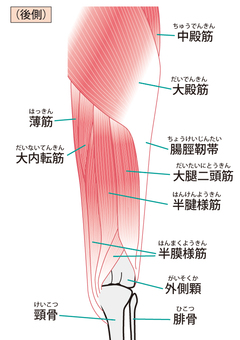 Hip to knee muscle (rear side)