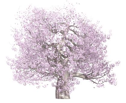 벚꽃 나무 _ 만개 _002