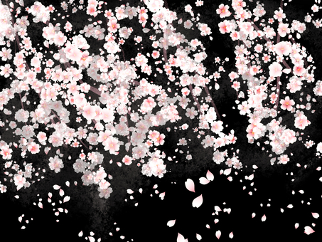 Weeping cherry blossoms background black