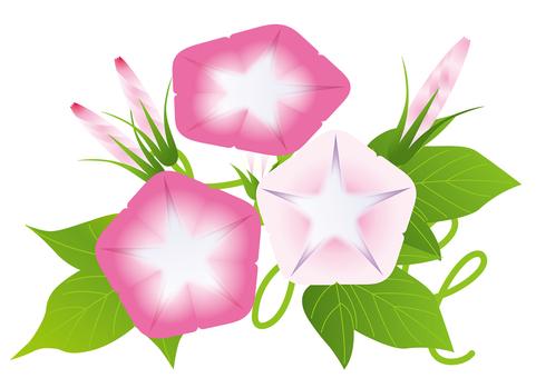 Pink Asakao 3