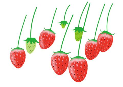 草莓採摘1
