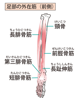 External muscles of the foot (front side)