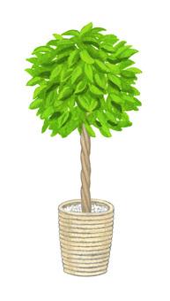 Houseplant Ficus Benjamin
