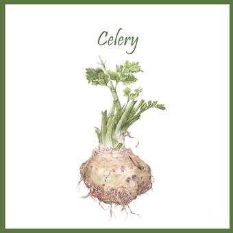 Vegetable - Celery Illustration