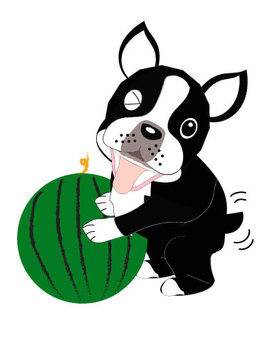 Boston Terrier asks for watermelon