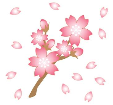Cherry blossom with branches