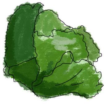 Watercolor style lettuce