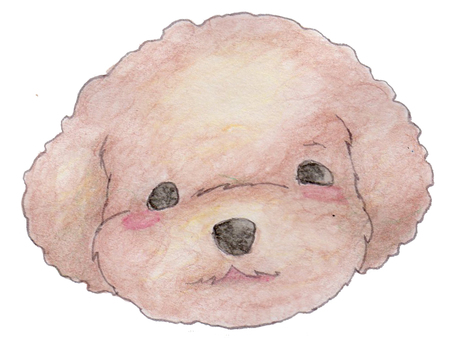 Toy poodle 02