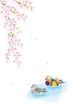 Oshidori和櫻花
