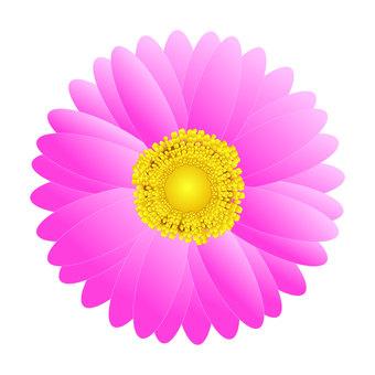 粉紅色的非洲菊
