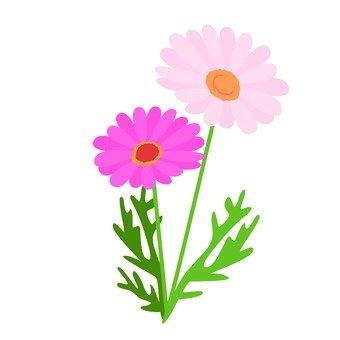 Pink Margaret