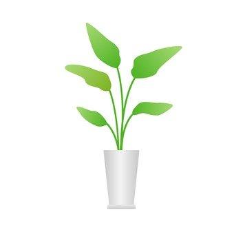 Houseplant - Strelitia
