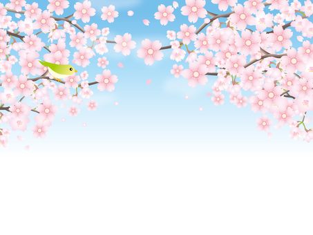 Cherry blossoms in full bloom background