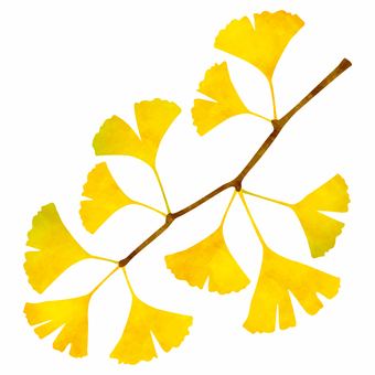 Yellow leaves / branches of ginkgo biloba