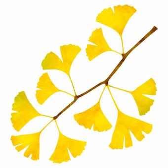 黃色葉子/銀杏樹枝