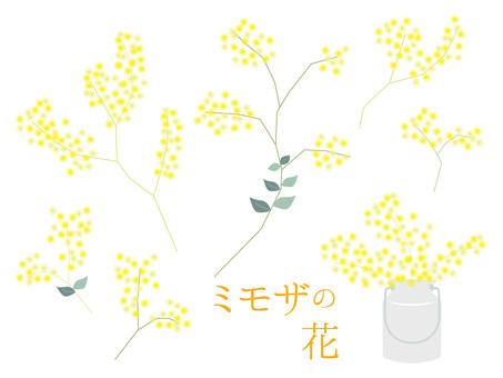 Mimosa flowers various 1