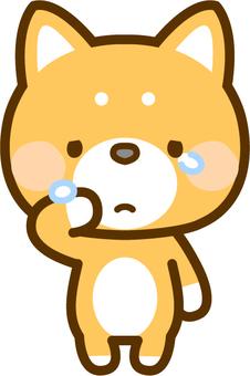 Shiba Inu shedding tears