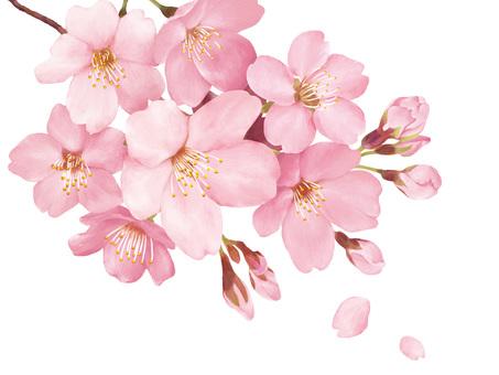 F_桜_春