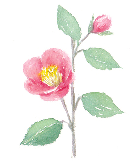 用透明水彩繪製的山茶花