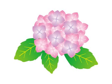 Hydrangea pink