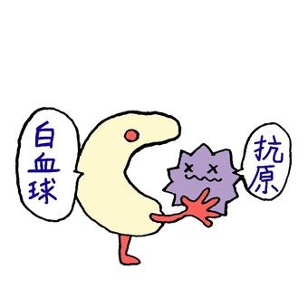 Phagocytosis of leukocytes
