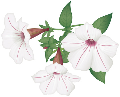 Petunia / white