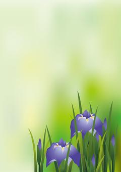Iris iris 6