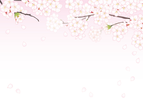 Cherry blossoms _ transparent background pink