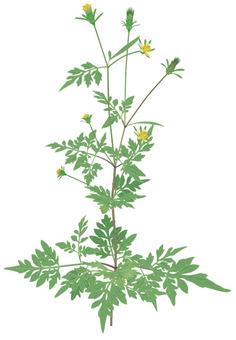코바 노 센단구사 / 잡초
