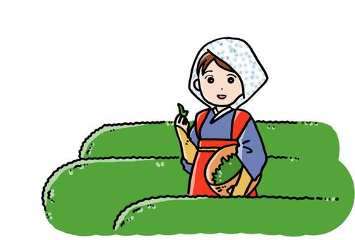 茶摘み 2