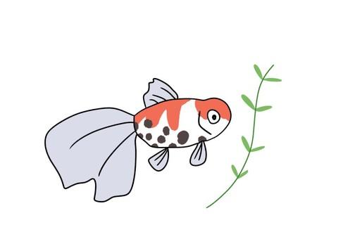 Goldfish (Higashi Nishiki)