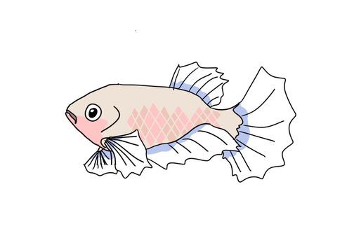 Betta (fish fighting) female