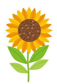 Sunflower sunflower