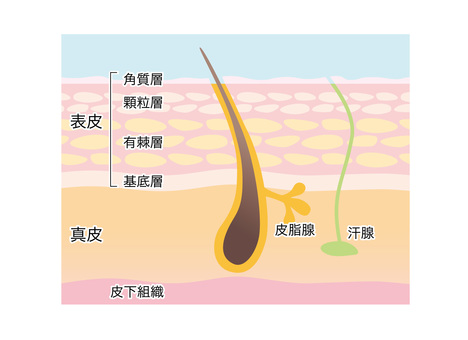 Sectional view of skin