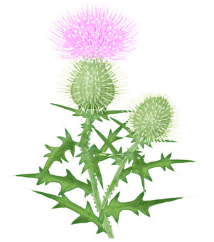 American thistle / illustration