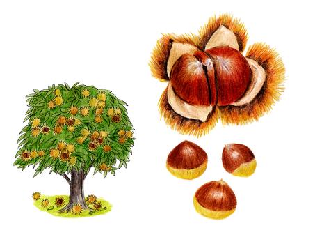 Chestnut set (color pencil drawing)