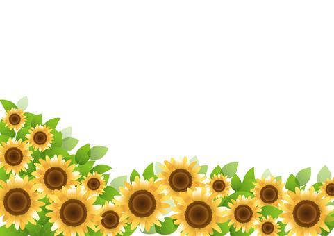 Sunflower 60