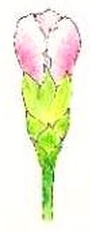 Carnation bud