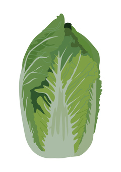 vegetable_ Chinese cabbage