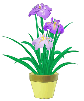 Potted plants of iris