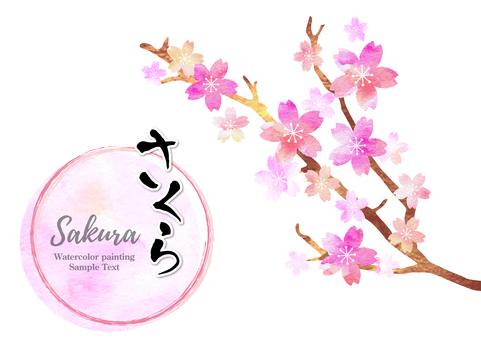 Cherry blossoms 430