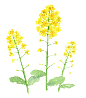 Rape flowers watercolor illustration